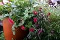 キャットテールの横の花