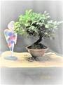 小品盆栽【常盤柿(ときわがき)と石菖(せきしょう)】