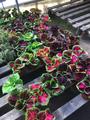 アルゼンチンの花市場