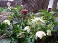 リプサリスも咲きました