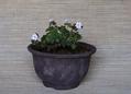 カメオ モミジ 鉢[i:136]