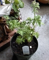 ローズゼラニウムを植える。