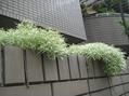 ブラックパールと枝垂れてる植物