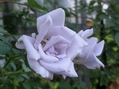 今日のバラ③