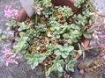 カラフトミセバヤ開花