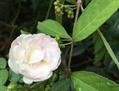 私の庭と、実家の花たち(ドールの画像あり)