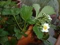 ミニトマトの経過、ゴーヤの発芽、イチゴの開花