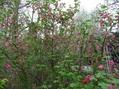 園芸種フサスグリ