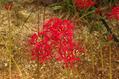 ヒガンバナ '黒赤'