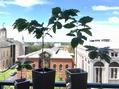 コーヒーの木が4鉢になりました