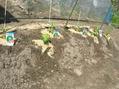 夏野菜植付け始まる