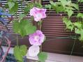 不思議な花色・西洋アサガオ
