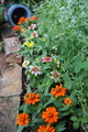 🌼ジニアで秋花壇