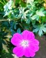 秋晴れのピンクの花🌸