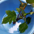 カシワバアジサイの挿し木 その1