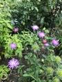 ( ・∇・)ピンクの花🌼🌼🌼 🌱 返り咲き🌱🌱