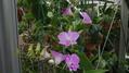デンファレが咲きました