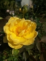 今日と昨日の薔薇