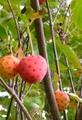 😋食べれる木の実💓ヤマボウシ💓