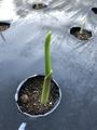 ニンニクの芽が出ました