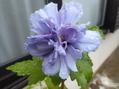 紫玉が咲きました💕
