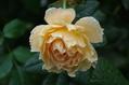 今日のバラ  0921