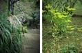 茶室の庭には、『ススキと女郎花』がよく似合う!