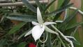 アングレカム属 ディディエリ が咲きました