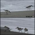 波打ち際の野鳥。ウォーキングMS⑥227日目(2052日)