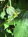 チドリソウの芽🌱発見!
