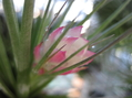 チランジア・ストリクタが咲きだしました