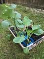夏野菜から冬野菜へ🎵
