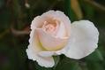 今日のバラ ② 0923