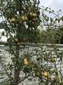 洋梨 収穫のタイミングは?