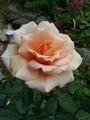 待ちくたびれて、咲いてしまったバラたち。