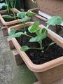 冬野菜の植え付け完了🎵
