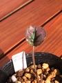 【葉っぱマニアのための葉姿39】