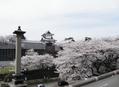 桜が満開~♪ by北陸