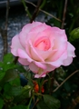 🎵雨があがった!🌹薔薇は元気!🌹ピンク系!
