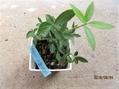 マユミ『アメリカーナ』播種からミニ盆栽に育てたい。