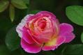 今日のバラ  0925
