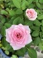 秋のミニ薔薇🌹