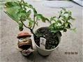 今日の盆栽 『夏グミ』のミニ盆栽づくり
