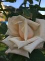 エキネセアとバラと。