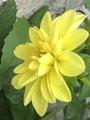 種蒔きダリア咲きました。
