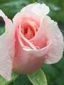 夏花とコスモス とバラ蕾ちゃんと。