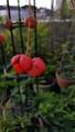 ふくおかルーバルガーデン2~秋の庭🍂便り❗ツリバナの実が真っ赤になりました🎵