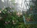 シュウカイドウが咲いてきました♪