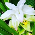 ターメリックの花