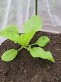 秋冬野菜、生育順調です。(*´∪`)